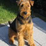 airedale-terrier12