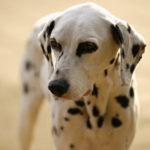 top_dog_dalmatian
